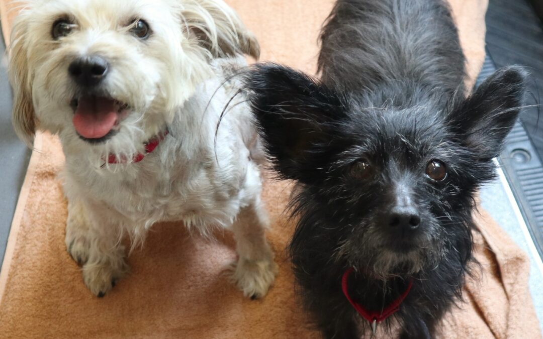 Senior Pups Looking for Loving Home after Owner Passes