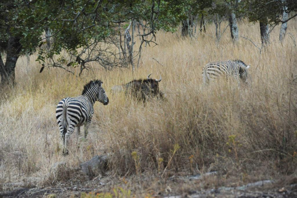 Zebras and wilder-beast in Gosho Zimbabwe