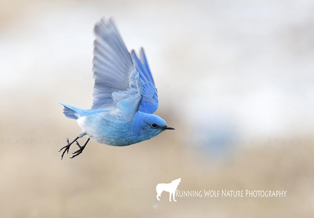 bluebirdflight001