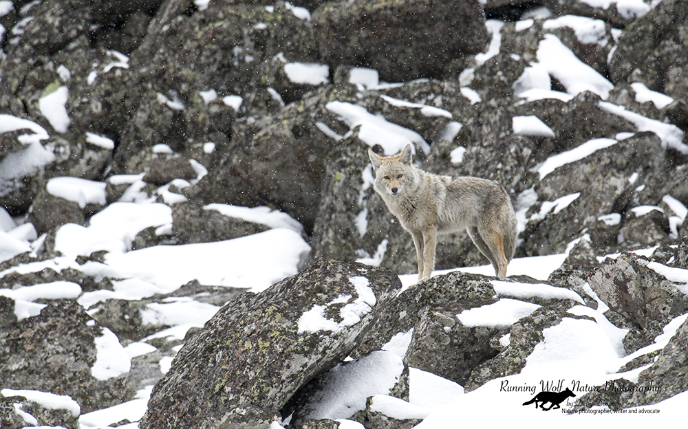 Coyotes on the talus