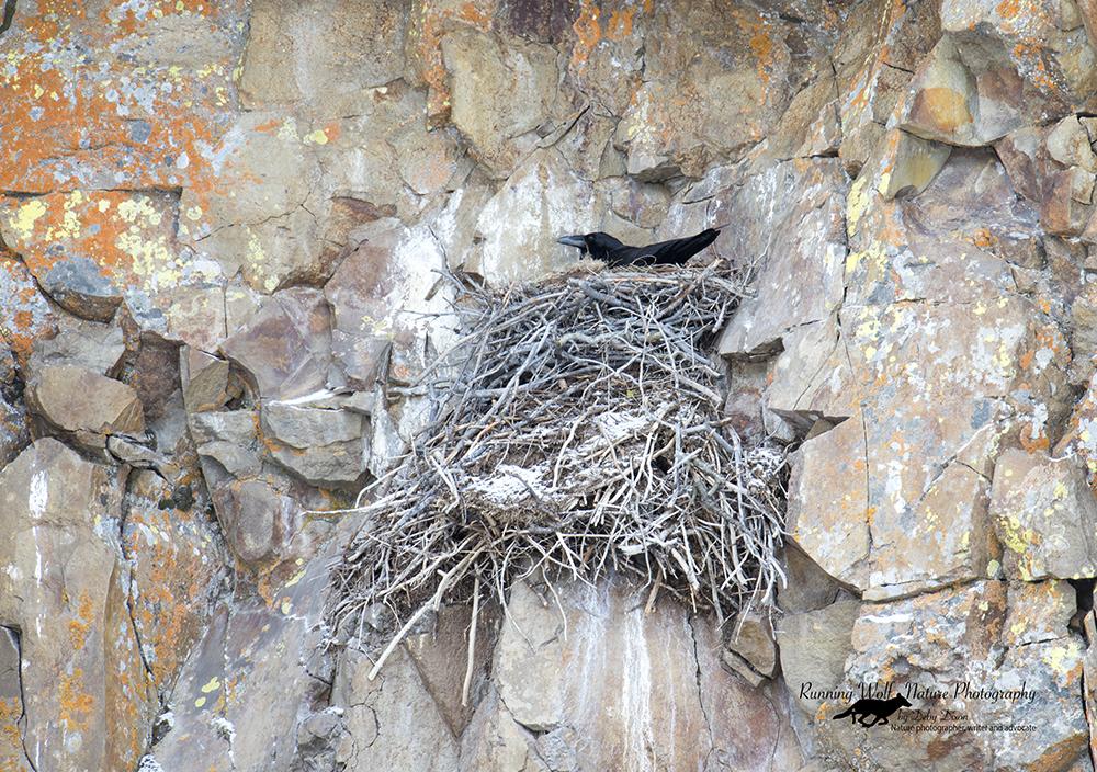 Raven on nest at Golden Gate