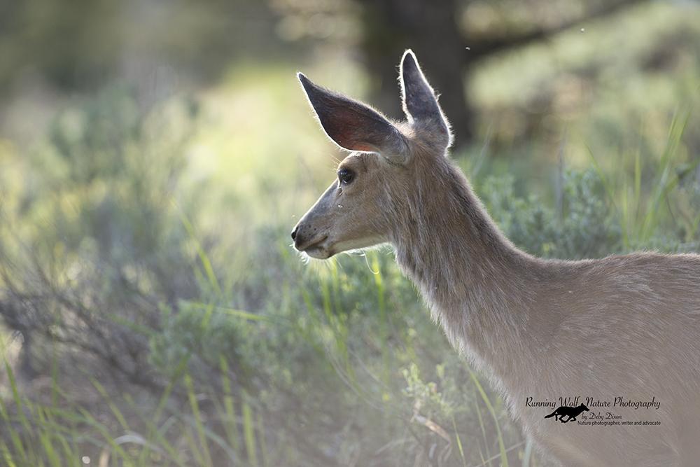 Blacktail Deer at Hell Roaring