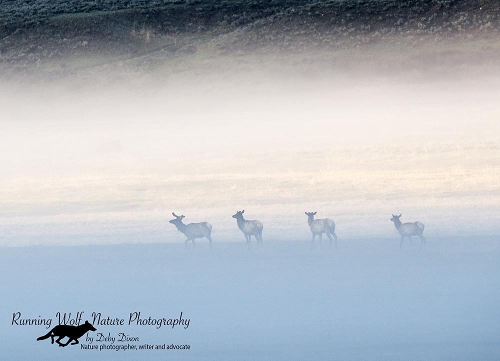 Elk in the fog in Lamar Valley