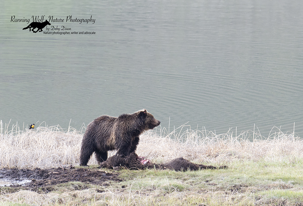 Young grizzly boar on Blacktail