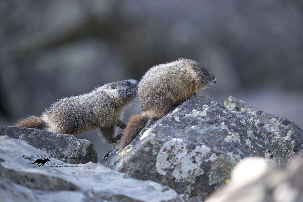 marmotbabies001