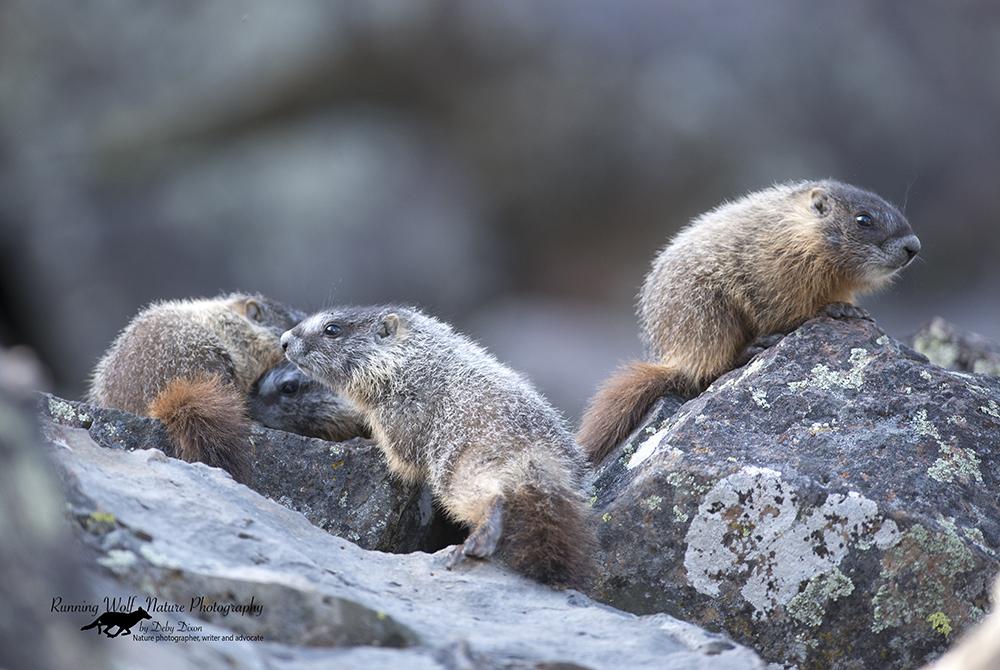 marmotbabies002
