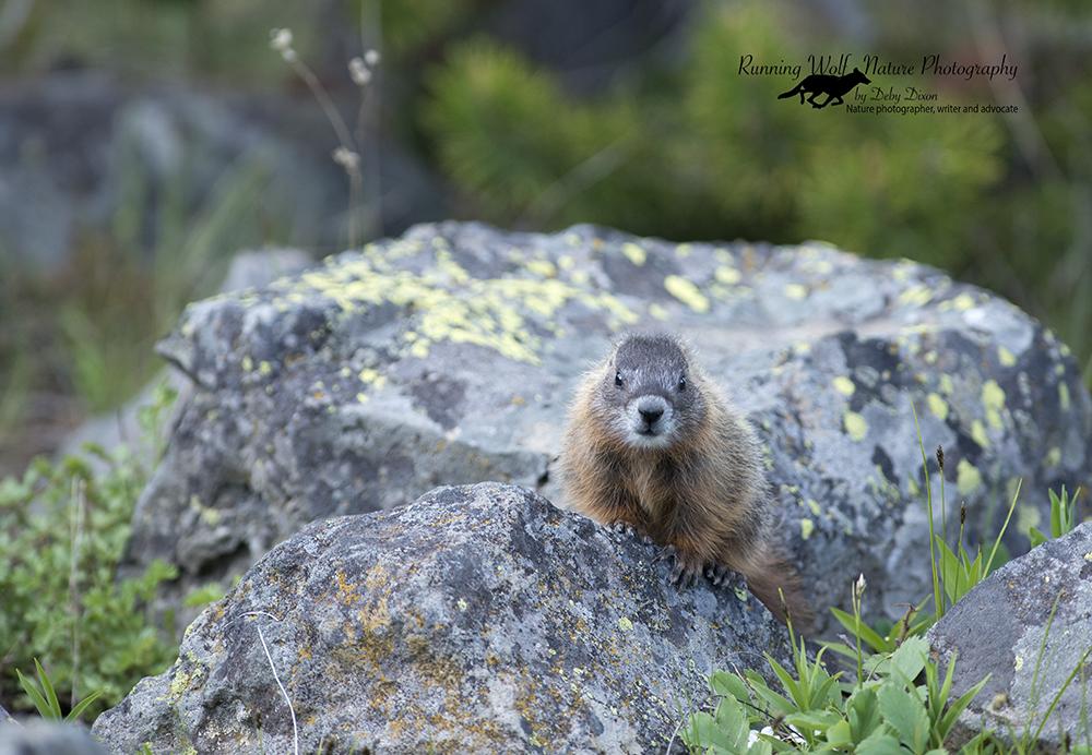 marmotbaby005