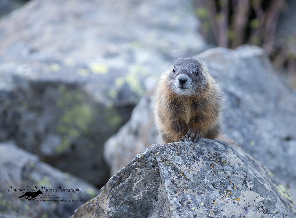 marmotbaby006