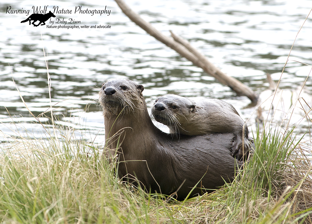 Otters at Trout Lake