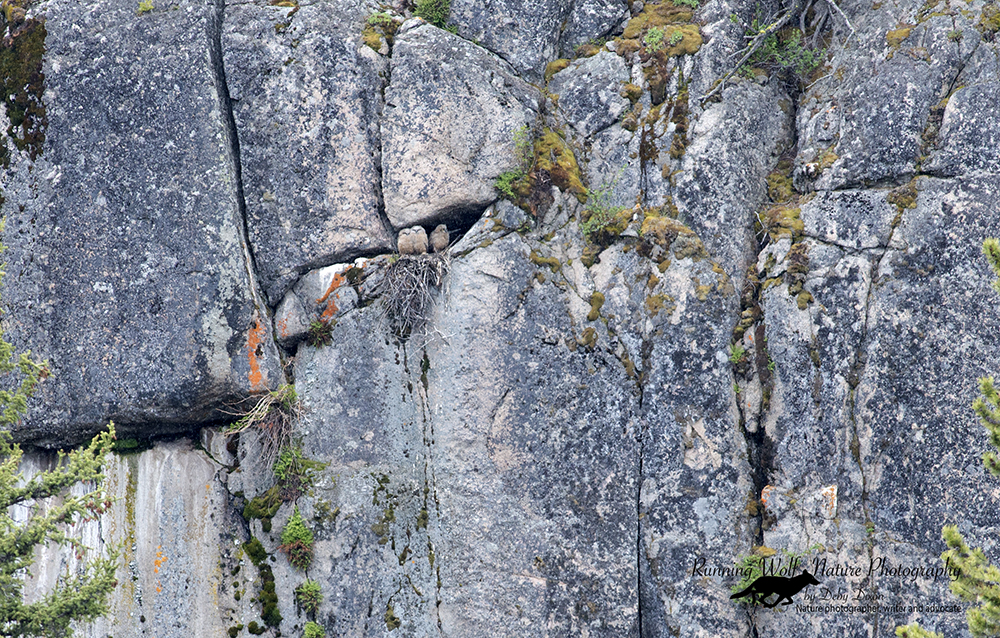 Great Horned Owls in the Rocks