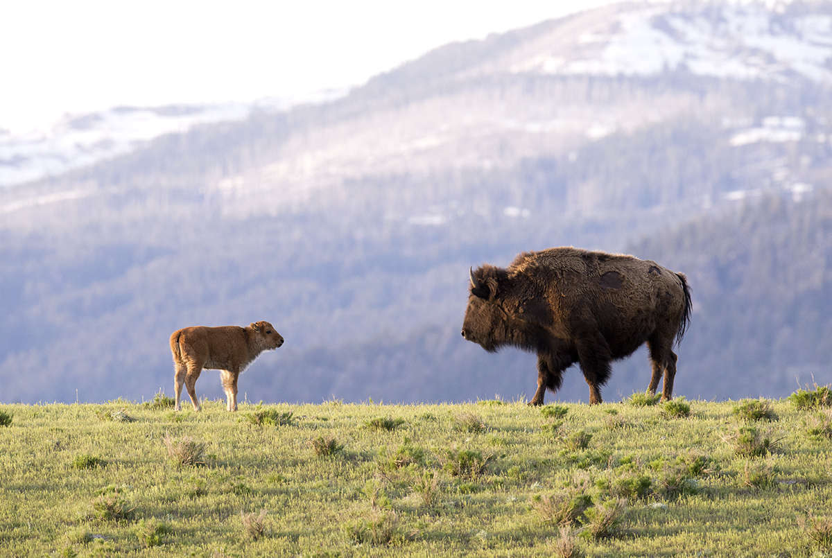 A different bison calf with its mother on a hill in the area of Yellowstone known as Little America. (Deby Dixon)