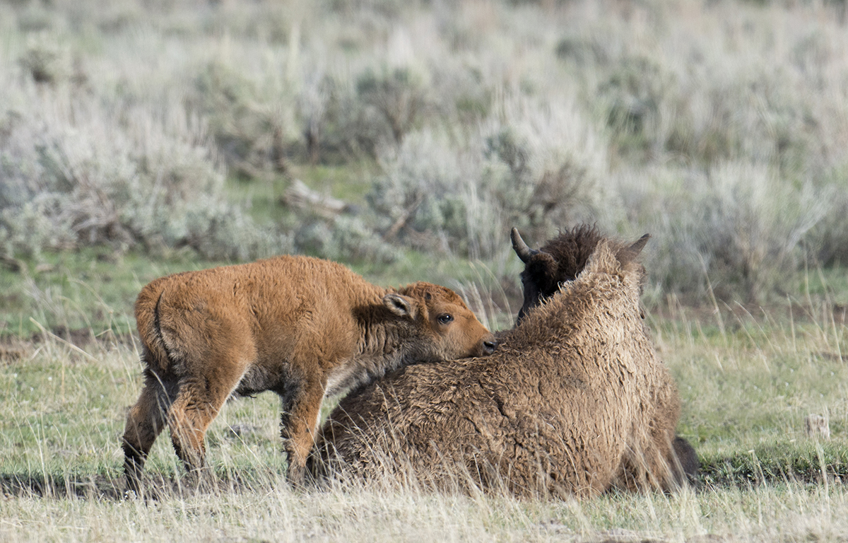 A bison calf nuzzles its mother, who seemed to be dying of old age, in 2015. Bison have calves right up to the end of their lives, and they tend to go off by themselves to die, lingering quietly for many months until their bodies give out. (Deby Dixon)