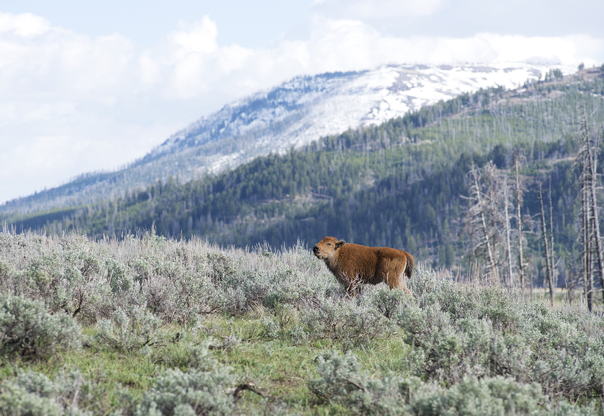 The orphaned bison