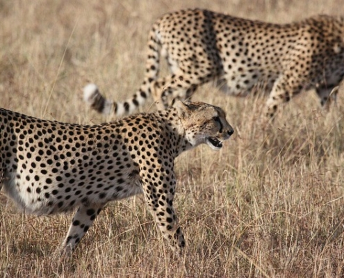 Two cheetah in the Central Serengeti