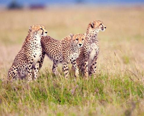 Cheetah family in teh Eastern Serengeti