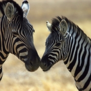 Zebra mother and baby touching noses in the Central Serengeti