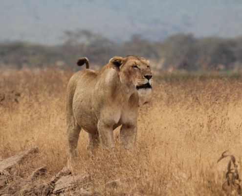 a large lioness stretching in the grasses in the Serengeti