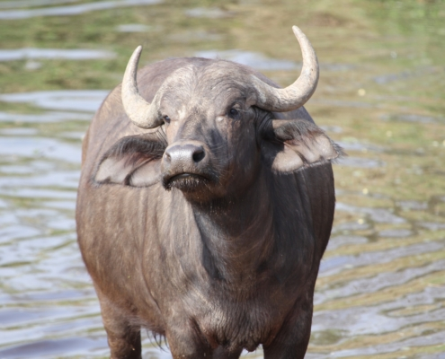 a lone cape buffalo looking at the camera, standing in water in the Serengeti