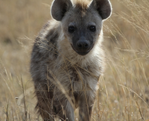 full image of a hyena in the grasses in the golden hour in the Serengeti