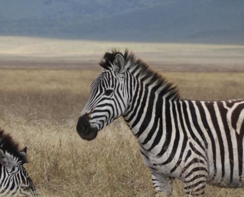 Zebra in the Ngorongoro Crater
