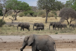 Elephant family on the move in the Serengeti