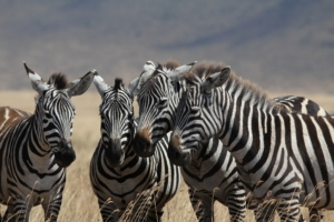 Four zebra with their heads together in the Ngorongoro Crater