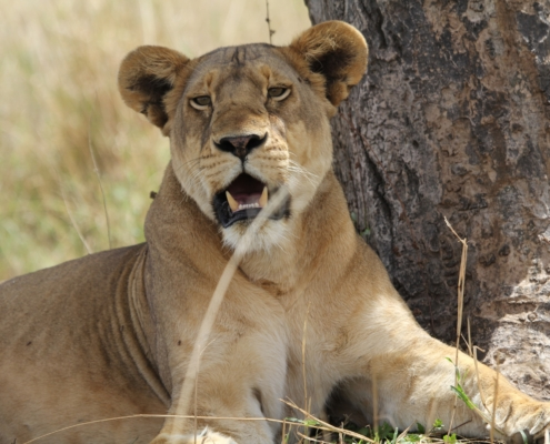 a lioness by a tree in Tarangire National Park