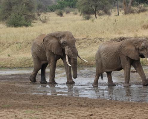 Elephants crossing a very small river in Ndutu