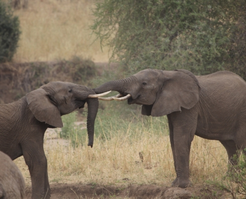 Two bulls play fighting in Tarangire National Park