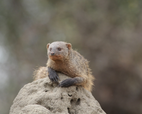 small banded mongoose on a termite mound in Tarangire National Park