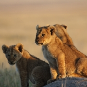Lion cubs perched on a rock with the sunlight hitting them in the Central Serengeti