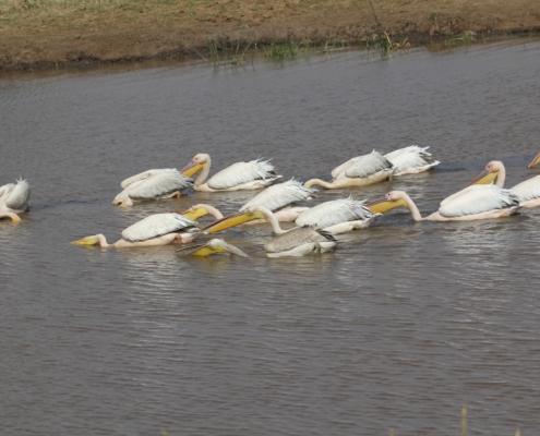 Pelicans at Lake Manyara