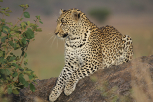 close-up of a beautiful leopard on a rock in the Eastern Serengeti