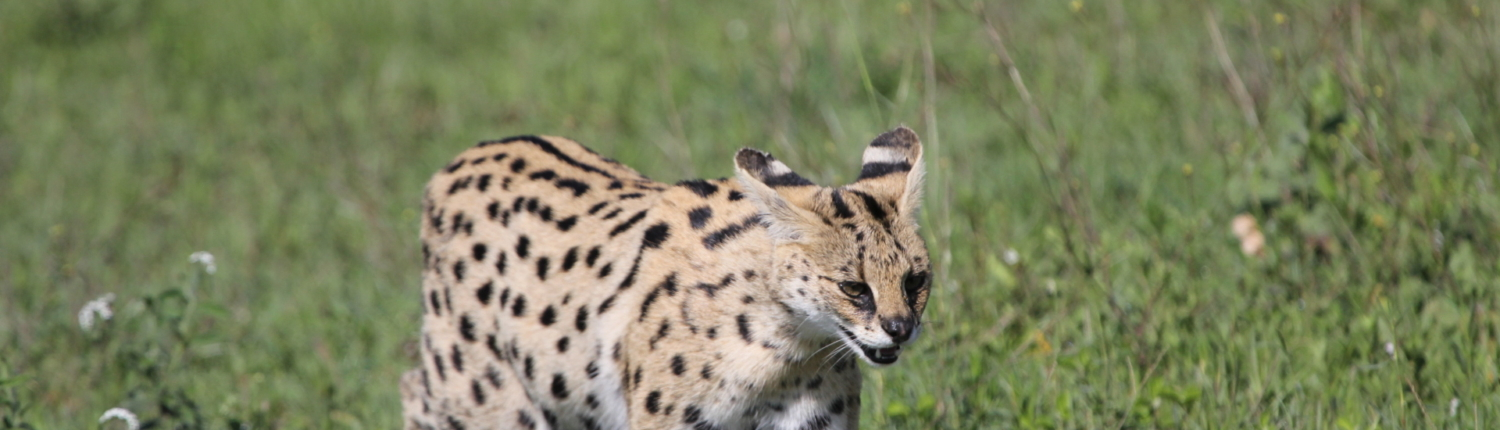 Serval in the grass - southern Serengeti