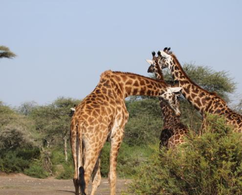 Giraffe feeding in the central Serengeti