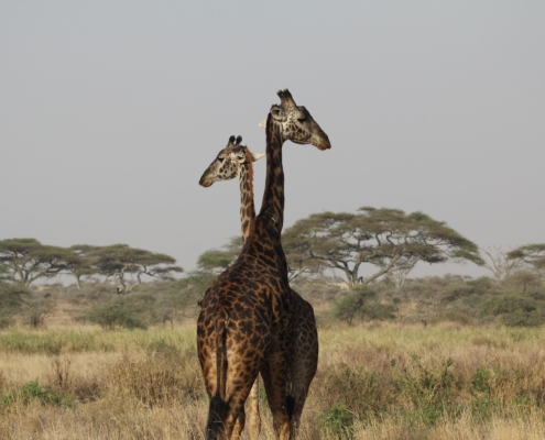 two giraffe looking opposite directions in the Ndutu area of the Serengeti
