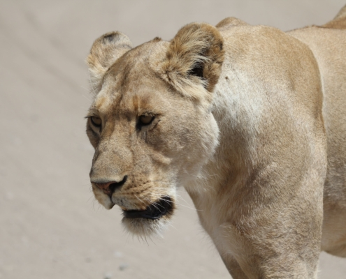 close-up of a lioness from the Ndutu region of the Serengeti