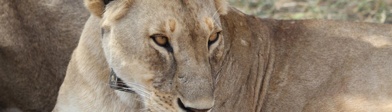 Lioness Close-up (Ngorngoro)