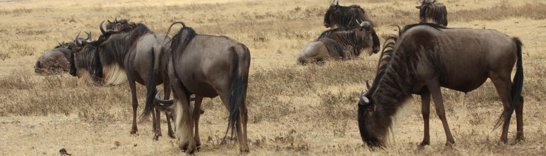 Wildebeest on the plain