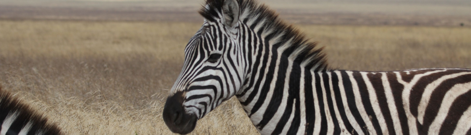 Close-up of a Zebra in the Ngorongoro Crater