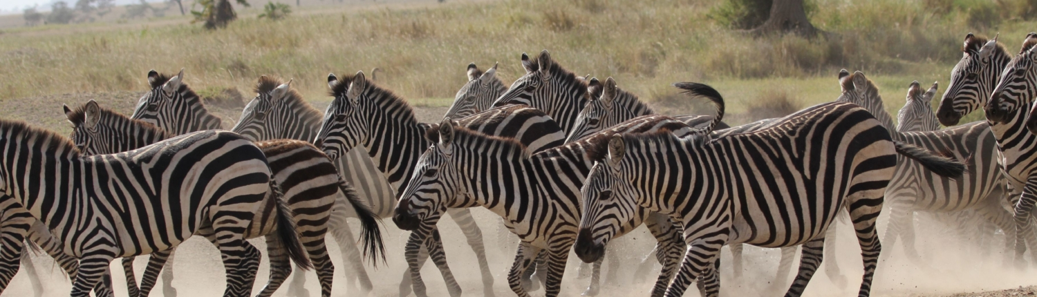 a herd of zebra kicking up dust in the Northern Serengeti