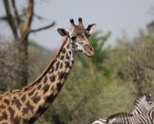 a giraffe in the Northern Serengeti with a few Zebra in the background