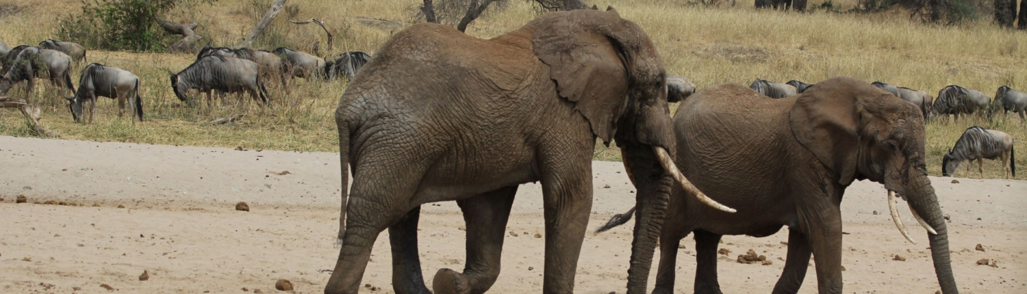 elephants and wildebeest on the move in the Eastern Serengeti