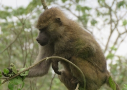 Baboon eating from a branch at Arusha National Park