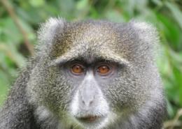 Blue Monkey at Arusha National Park