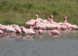 Pink Flamingos (Momela Lake, Arusha National Park)