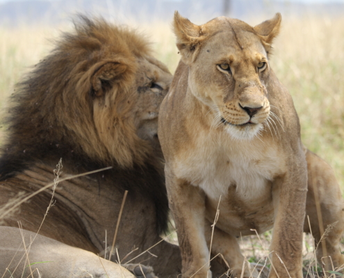 Lion and Lioness looking in different directions (Central Serengeti)