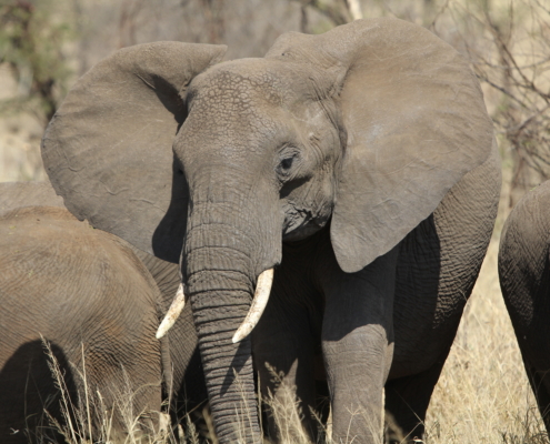 a big elephant looking right at the camera in the Central Serengeti