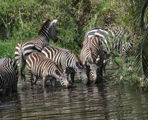 a dazzle of zebras drinking in a pool surrounded by greenery in the Eastern Serengeti