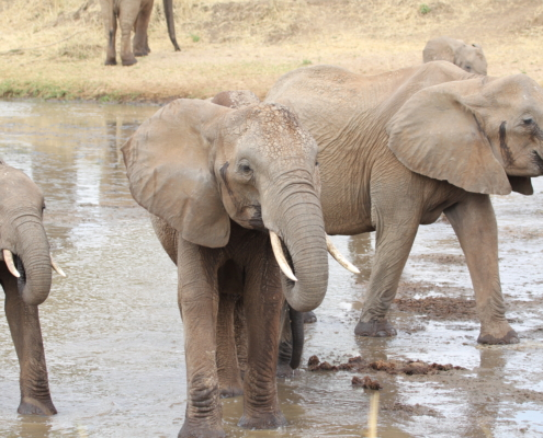 a small group of elephants walking through a river